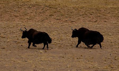 西藏棕熊   是高原上最大的食肉类动物,在青藏高原的现存数量很稀少