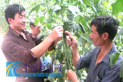 蔬菜 种植 大庄乡/大庄乡农民张安利温棚种植的龙须豆已经上市卖了200多公斤,...
