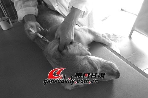 狂犬病/兽医给狗注射疫苗。本报记者陈若梦摄