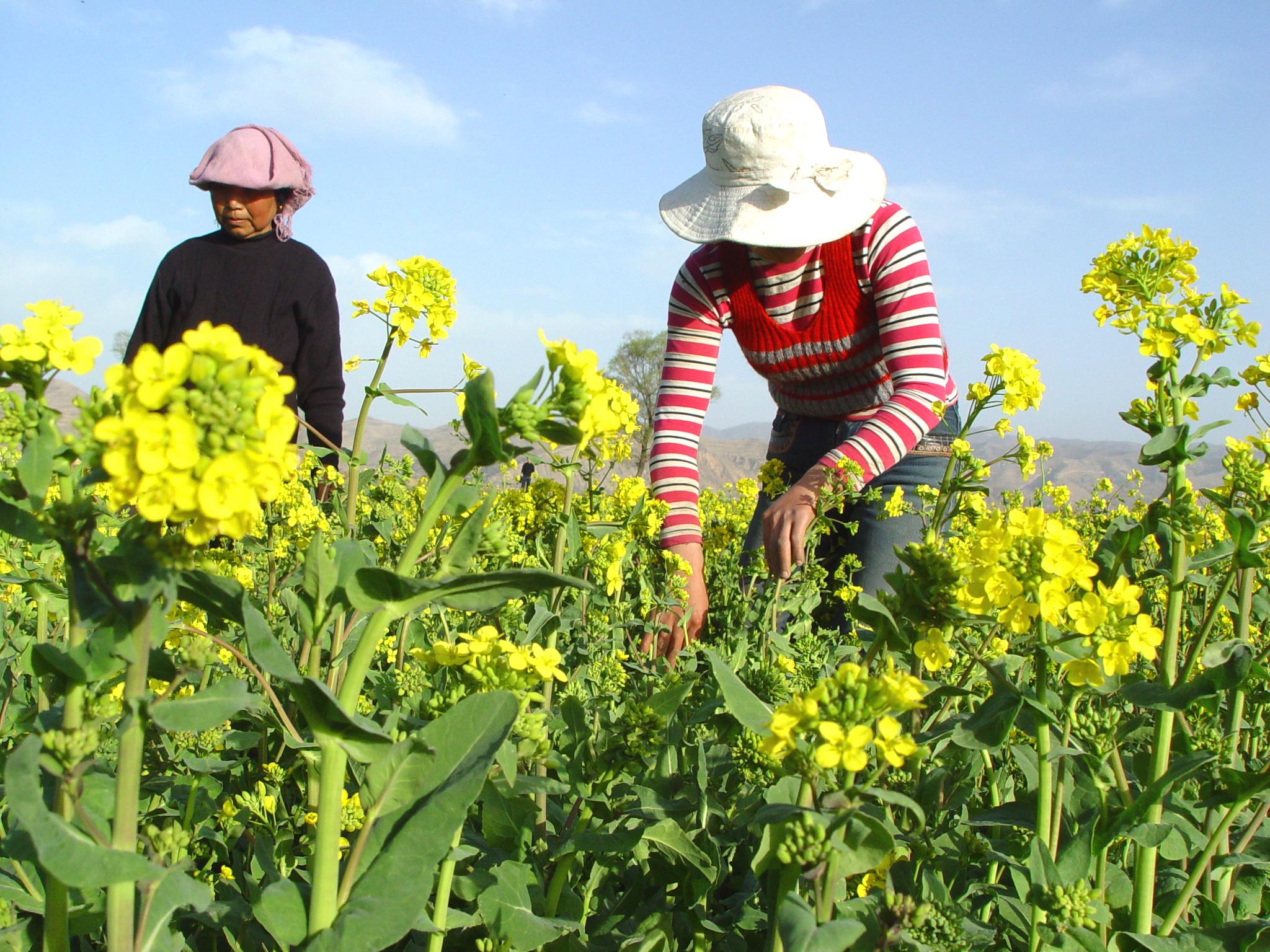 陇西 陇西县/春天的陇西乍暖还寒,但美丽的油菜花已在微风中绽开了笑容,向...