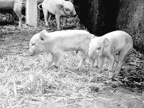 """记者在陆翠兰家的猪圈看到,两只小猪的鼻子明显比兄弟姐妹""""短&"""