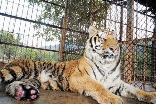 该园一只公老虎与母狮子通过自然交配,新年第二天生下四只可爱的&ldqu