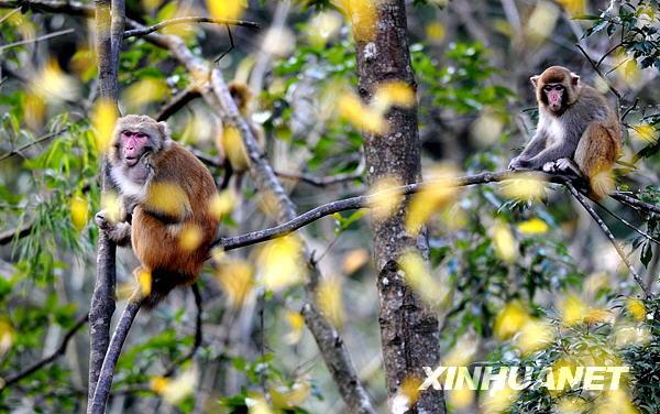 有国家二级重点保护动物野生猕猴11群600余只