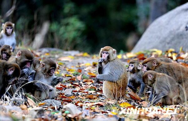 12月10日,两只猕猴正在觅食。    位于江西省宜丰县与铜鼓县交界处的官山国家级自然保护区方圆11500公顷的范围内,有国家二级重点保护动物野生猕猴11群600余只。野生猕猴每个群落都由一个猴王带领,各有地盘,互不侵扰,主要以山中尖栗、大叶栲、苦槠、野猕猴桃等为食。据保护区工作人员介绍,近年来当地政府积极改善周边地区生态环境,陆续迁走保护区附近的居民,减少保护区附近山林砍伐,杜绝偷捕偷猎,为野生猕猴生存创造了较好的环境。新华社记者宋振平摄