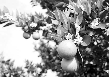 """日前,""""边开花,边结果""""的新品种柑橘树在三峡库区重庆市忠县涂井乡友谊"""