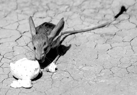 """由于长耳跳鼠生活在沙漠地区而被誉为""""沙漠中的米老鼠"""",已被列为全球"""