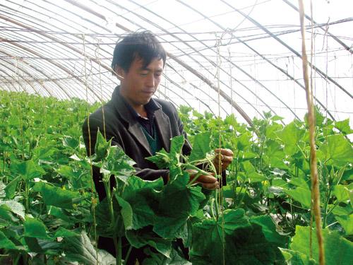 朱王堡镇调整日光温室种植结构