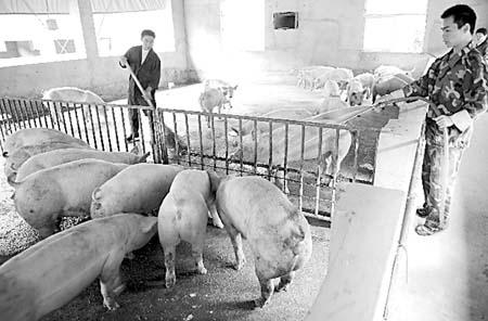 江西省广丰县古城生猪养殖专业合作社职工在清扫猪圈(10月29日摄).
