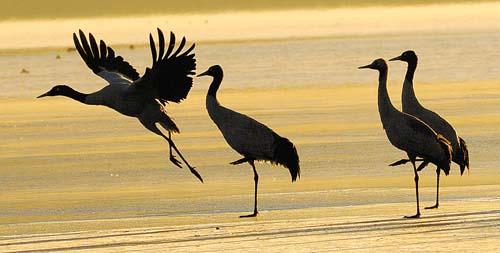 建立黑颈鹤自然保护区