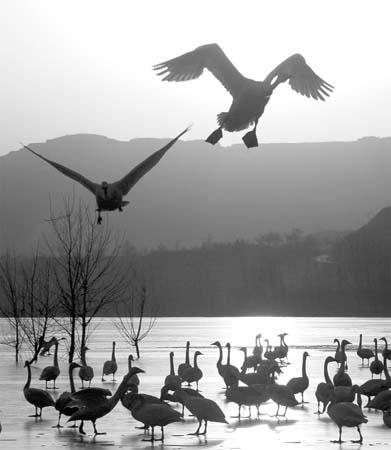 越冬白天鹅图片