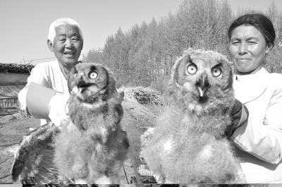 幼雏-国家二级保护动物|雕鸮|幼雏-每日甘肃-陇南