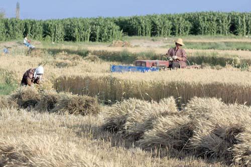 凉州农民收割小麦