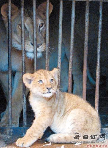 "酒泉动物园 非洲狮生""闺女"""