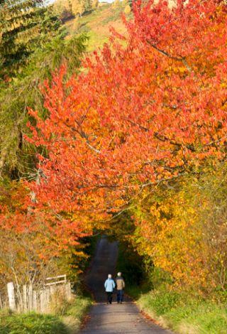 目前,全市彩叶林分布面积达33万亩,遍布京西南-西北-东北绵延230公里