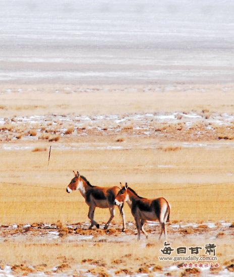视觉:祁连山的冬天 动物的天堂(组图)