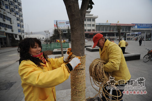 天水麦积区园林工作人员为树木捆扎草绳保暖(组图)