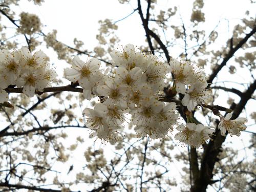 向日葵 樱桃花/樱桃花