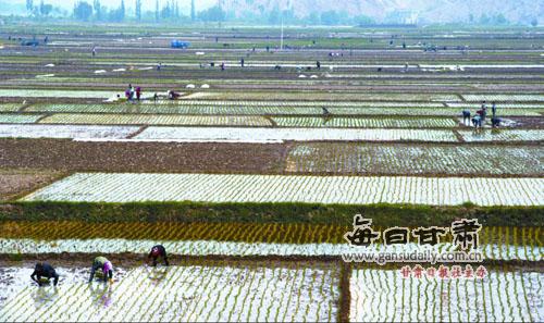 图:白银市平川区水泉镇水稻种植面积达到1700多亩