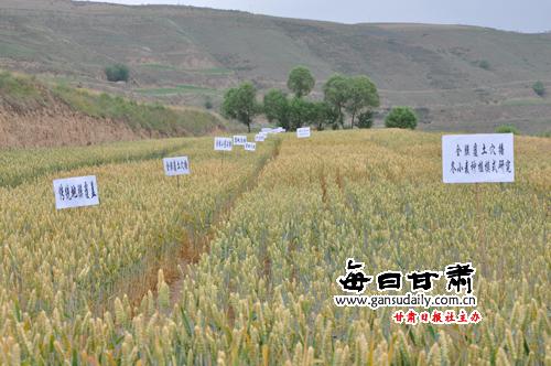安定区小麦全膜覆土穴播种植对比试验田