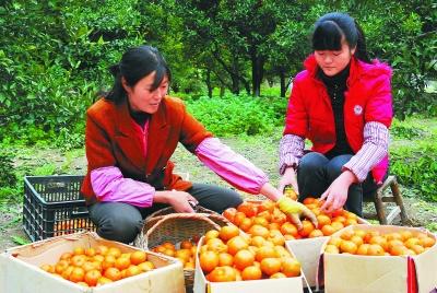 文县尚德镇尚德村村民采摘红橘-种植|专业-每日
