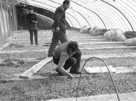 镇原县/春节过后,镇原县一批蔬菜温室大棚进入了新一轮繁忙的育苗期,...