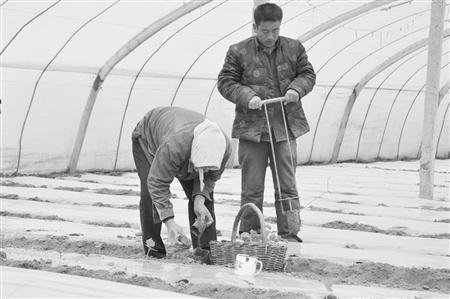 胡锦涛/镇原县开边镇寨子村农民在自家菜棚里移栽菜苗。...