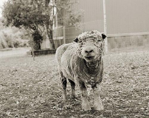动物 时候/13岁的山羊