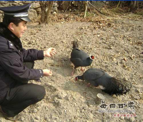 国家二级保护动物蓝马鸡