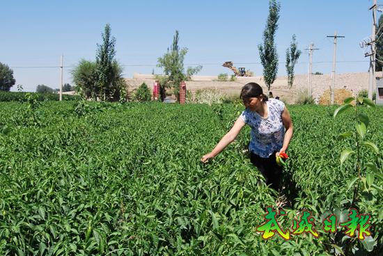 图文:农民在黄冠梨间作辣椒田间劳作