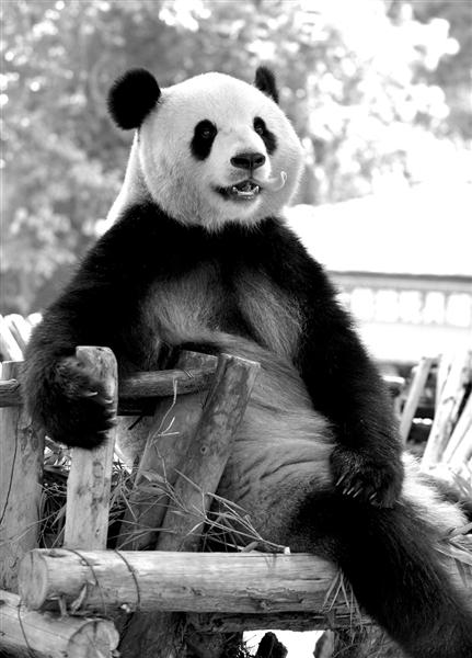 云南野生动物园的大熊猫思嘉悠闲地休憩
