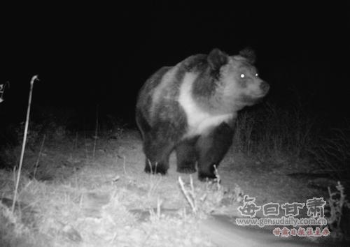 盐池湾保护区野生动物调查远红外相机拍摄到棕熊猞猁