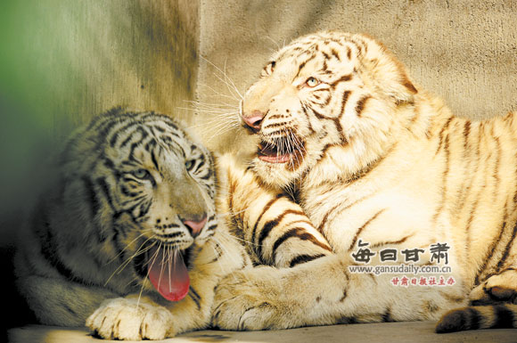 """每日甘肃网-兰州晨报讯(记者李丹陆小乐 实习生弥晓云)11月8日,两只从石家庄动物园引进的白虎正式入住兰州动物园。这两只小白虎刚满1岁,一公一母,虽未成年,但体态优美、娇憨顽皮,引来不少游客纷纷驻足观看。   当日上午,记者来到兰州动物园,刚入园的两只小白虎与动物园的""""老住户""""黑豹毗邻而居。防护栏内,两只小家伙相拥而卧,雪白光亮的毛色引人注目,一只轻轻地舔着另一只的耳朵,相互玩耍嬉戏。它们晒着暖洋洋的太阳,显得惬意舒服,不时伸着前爪,向前伸个大大的懒腰,体态舒展优美。当游人在防"""