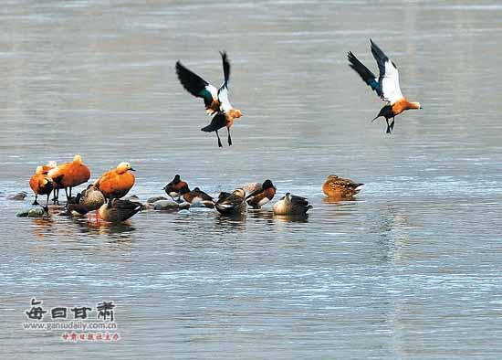 兰州湿地成了候鸟迁徙过冬的乐园(图)