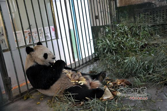 网传兰州市动物园熊猫受虐 本网记者实地探访(组图)