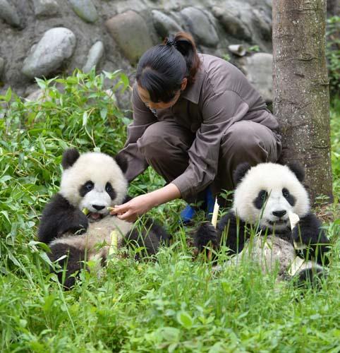 碧峰峡基地大熊猫幼儿园