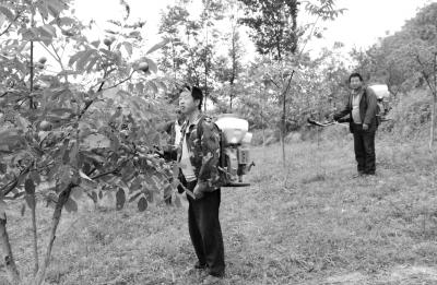 核桃树病虫害防治