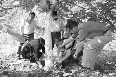 成县开展核桃树嫁接病虫害防治及综合管护工作