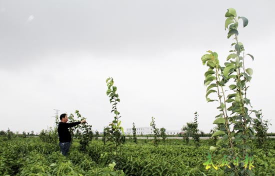武威特色林果业_授粉树种为早酥梨,示范长廊的建成,进一步推动永昌镇特色林果业的健康