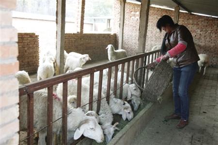 镇原县/镇原县城关镇在扶贫攻坚中注重农业结构调整,大力发展养殖业。
