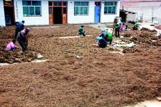 渭源县/渭源县会川镇金滩园的务工人员在整理中药材。...