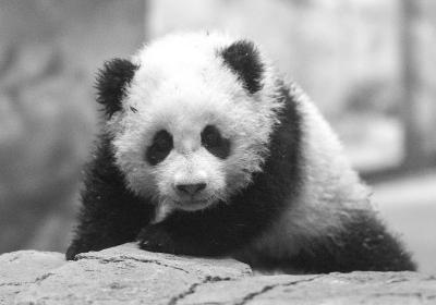 """华盛顿大熊猫幼仔""""宝宝""""将与公众见面"""