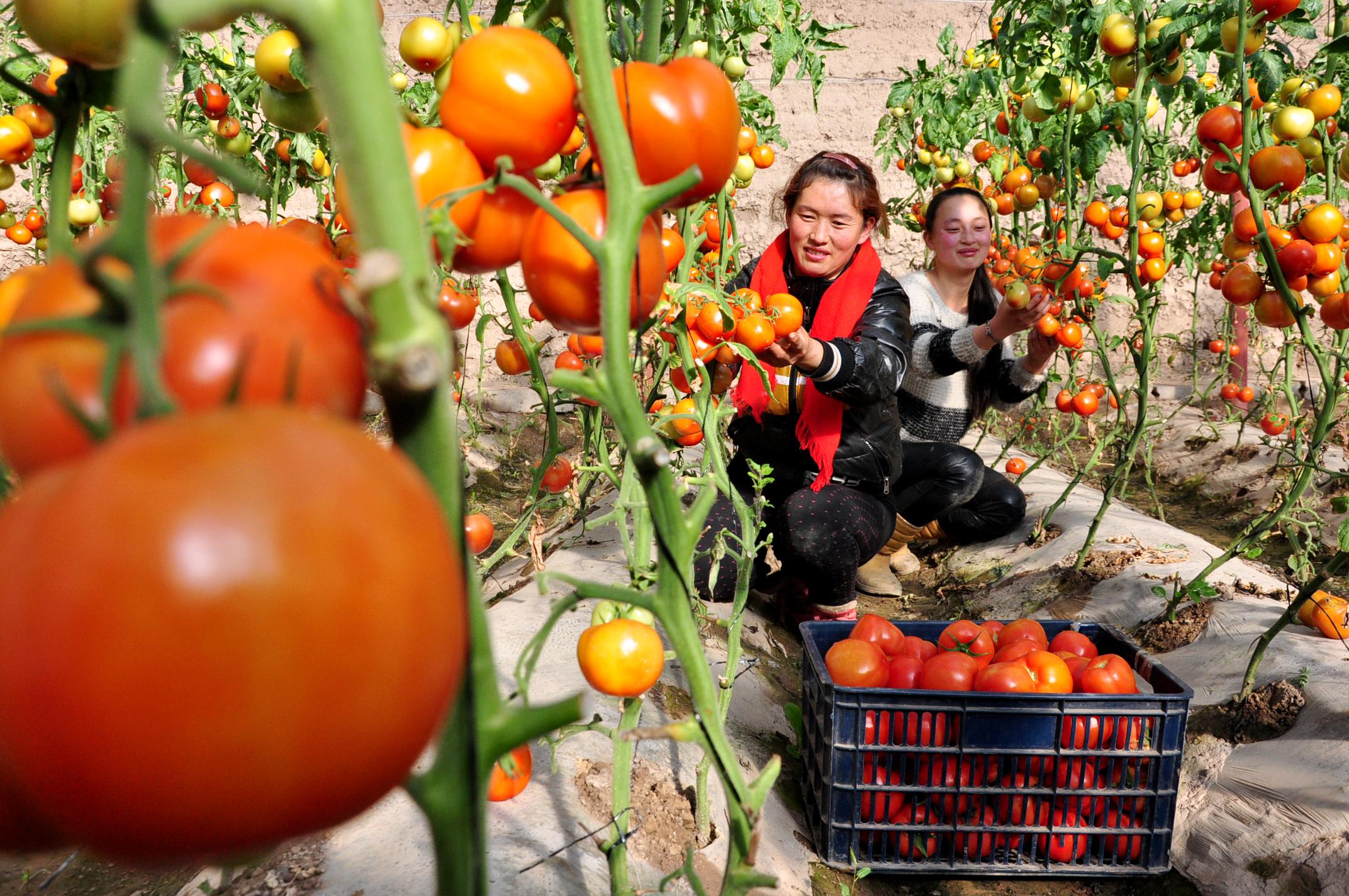 甘州区群众在采摘西红柿