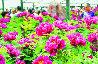 游客在洛阳隋唐城遗址植物园内观赏牡丹
