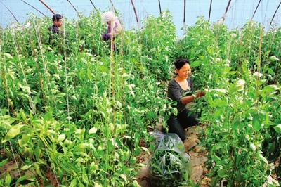 甘州区碱滩镇积极调整农业产业结构