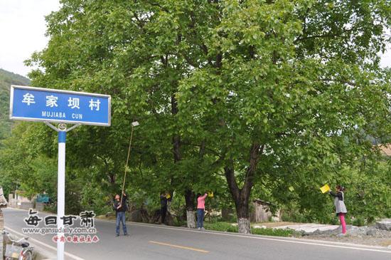 康县岸门口镇加强夏季核桃树管理(图)