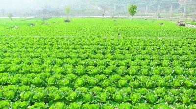 把大力发展蔬菜产业作为调整农业结构