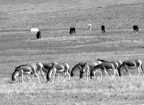藏北羌塘野生动物数量增长明显