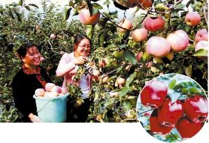 梦见摘桃子摘苹果