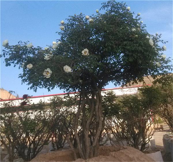 2017年5月3日      牡丹树欣赏    (美术资料) - 田园 - 劉振華的田園