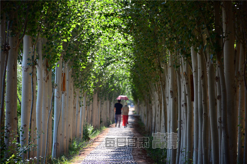 北部防护林生态景观内的牵手林. 每日甘肃网记者 刘磊摄图片